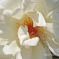 White Rose Stemens by Kenny Bosak
