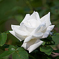 White Rose by Stephen  Tunis