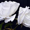 White Rose Twins. by Terence Davis