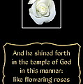 White Rose With Bible Verse From Sirach by Rose Santuci-Sofranko