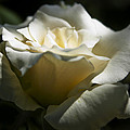 White Rose2 by Janel Todd