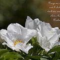 White Roses - Purge Me With Hyssop by Kathy Clark