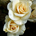 White Roses by Tony Klesert