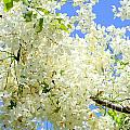 White Shower Tree by Mary Deal