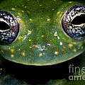White Spotted Glass Frog by Dante Fenolio