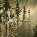 White Spruce In Mist At Sunrise by Philippe Henry