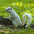 White Squirrel by J Larry Walker
