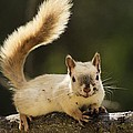 White Squirrel by John Greaves