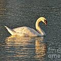 White Swan At Sunset by Carol  Bradley