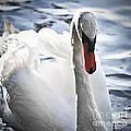 White Swan by Elena Elisseeva