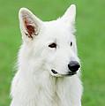 White Swiss Shepherd Dog by Waldek Dabrowski