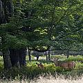 White Tail Deer by Ron Jones