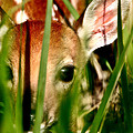 White Tailed Deer Fawn Hiding In Grass by Mark Duffy