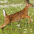 White Tailed Deer Fawn In Field Of by John Pitcher