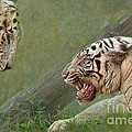 White Tiger Growling At Her Mate by Louise Heusinkveld
