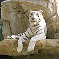 White Tiger by John Bowers