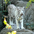 White Tiger by Kathy  White