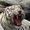 White Tiger by Steve McKinzie