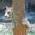 White Tiger by Stephen Whalen