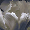 White Tulip by Nancy Griswold