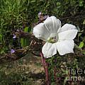 Small White Morning Glory by Donna Brown