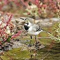 White Wagtail by Photostock-israel