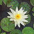 White Water Lily by Andee Design