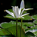White Water Lily by Lisa  Spencer