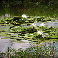 White Water Lily Pond by Susan Isakson