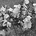 White Wild Flowers B W by Katrina Johns