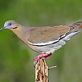 White Winged Dove by Dave Mills