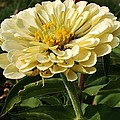 White Zinnia by Bruce Bley