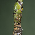 Whitebeam Tree Leaf Bud (sorbus Aria) by Bob Gibbons