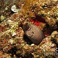 Whitemouth Moray - Hawaii by William Miller