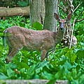 Whitetail 7335 by Michael Peychich