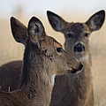 Whitetail Deer by Ernie Echols
