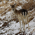 Whitetail Fawn In A Winter Meadow by Inspired Nature Photography Fine Art Photography