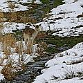 Whitetail Fawn In Winters Stream  by Inspired Nature Photography Fine Art Photography