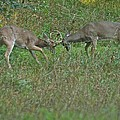 Whitetail Fighting_9668 by Michael Peychich