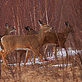 Whitetails On The Move by Susan Capuano