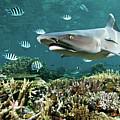 Whitetip Shark Over Coral Reef by Alexander Safonov