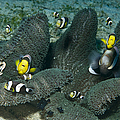 Whole Family Of Clownfish In Dark Grey by Mathieu Meur