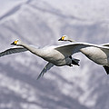 Whooper Swan Cygnus Cygnus Pair Flying by Konrad Wothe