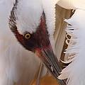 Whooping Crane Preening by Bruce J Robinson