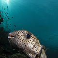 Wide-angle Image Of Pufferfish, Raja by Todd Winner
