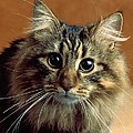 Wide-eyed Maine Coon Cat by Larry Allan
