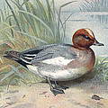 Widgeon, Historical Artwork by Sheila Terry