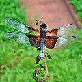 Widow Skimmer Dragonfly - Libellula Luctuosa by Mother Nature