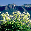 Wild Angelica by James Steinberg and Photo Researchers
