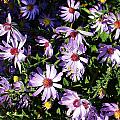 Wild Asters by Bruce Bley